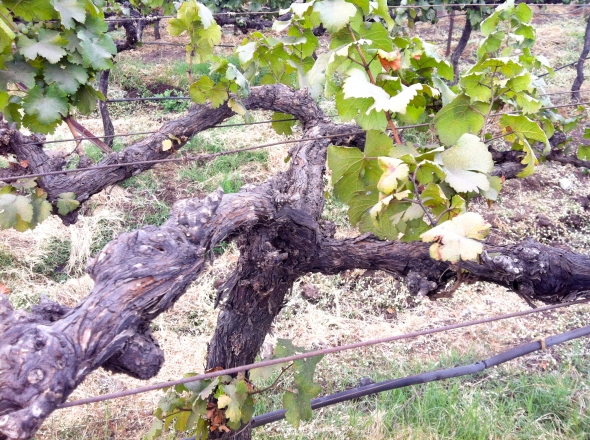 Lyre training Sauvignon Blanc
