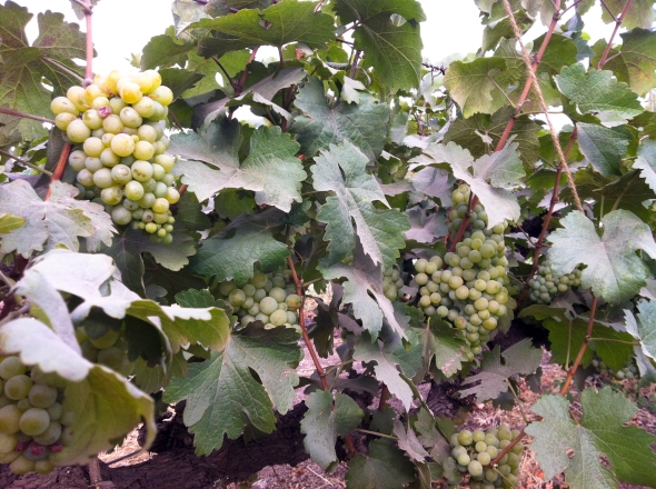 High Chenin Blanc yields